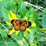 orange and black butterfly on woodland sunflower, NW Georgia, July 2018