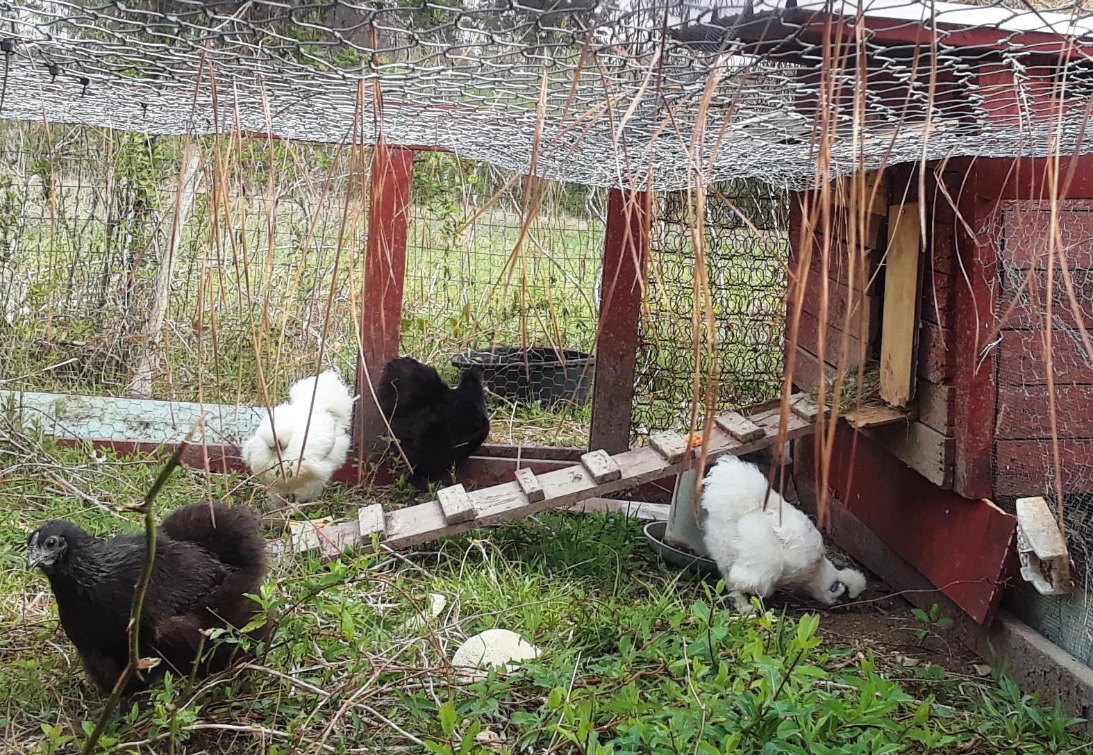 Cheap Chicken Coop Free Fowl First Farm Fresh Food